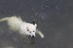 拉布拉多游泳 库存照片