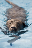 拉布拉多游泳 免版税库存图片