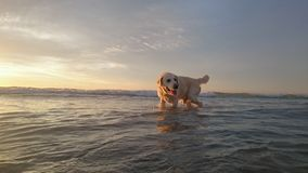 拉布拉多狗在海嬉戏 免版税库存图片