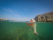 拉布拉多狗游泳有飞碟库拉索岛景色 免版税库存照片