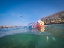 拉布拉多狗游泳有飞碟库拉索岛景色 库存图片