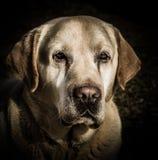 拉布拉多狗的画象 库存图片
