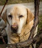 拉布拉多狗的画象 免版税库存照片