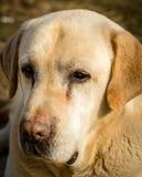 拉布拉多狗的画象 免版税库存图片