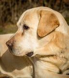拉布拉多狗的画象 图库摄影