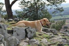 拉布拉多狗 库存照片