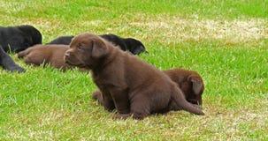 拉布拉多猎犬、黑色和布朗小狗在草坪,诺曼底,慢动作 股票录像