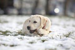 拉布拉多猎犬与木头的小狗在冬天说谎的围场和戏剧 库存照片