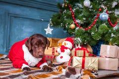黑拉布拉多猎犬与礼物坐圣诞节装饰背景 免版税图库摄影