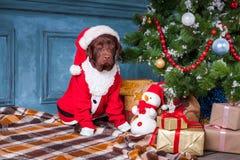 黑拉布拉多猎犬与礼物坐圣诞节装饰背景 图库摄影