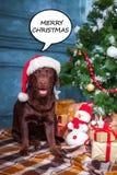 黑拉布拉多猎犬与礼物坐圣诞节装饰背景 库存照片