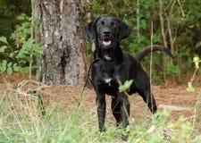 黑拉布拉多猎犬丹麦种大狗被混合的品种 免版税库存图片