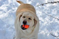拉布拉多猎犬和它喜爱的玩具 库存照片