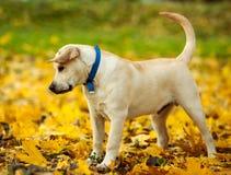 拉布拉多猎犬在公园 免版税库存照片
