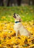 拉布拉多猎犬在公园 免版税图库摄影