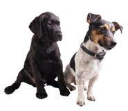 黑拉布拉多猎犬小狗和起重器罗素 免版税库存照片