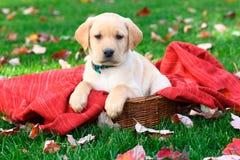 拉布拉多猎犬小狗坐在草的红色毯子与秋叶 免版税图库摄影