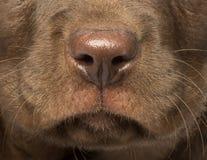 拉布拉多猎犬小狗的宏指令 免版税库存图片