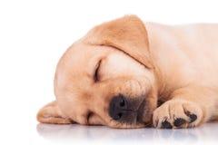 拉布拉多猎犬小狗睡觉的特写镜头 免版税库存图片