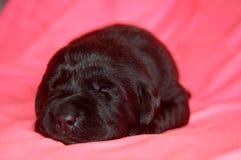 拉布拉多猎犬小狗睡觉 库存图片