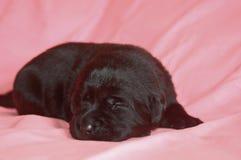 拉布拉多猎犬小狗睡觉 图库摄影