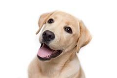 拉布拉多猎犬小狗 免版税库存图片