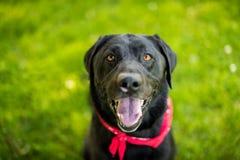 黑拉布拉多猎犬气喘微笑 库存图片
