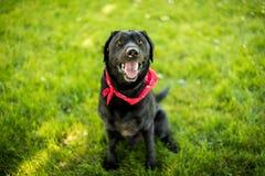 黑拉布拉多猎犬气喘微笑 图库摄影
