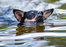 黑拉布拉多猎犬游泳在一冷的天 图库摄影