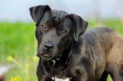 黑拉布拉多猎犬牛头犬被混合的品种狗 库存图片
