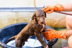 拉布拉多猎犬狗修饰 库存图片