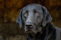 黑拉布拉多猎犬狗在干草谷仓 库存图片