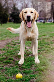 拉布拉多猎犬狗在有他的球的公园 免版税库存照片