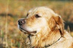 拉布拉多猎犬狗画象 免版税图库摄影