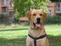 拉布拉多猎犬狗画象 免版税库存照片