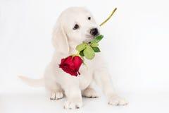 拿着在他的嘴的金毛猎犬小狗一朵玫瑰 免版税库存图片