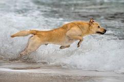 拉布拉多猎犬跳跃 免版税库存图片