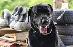 拉布拉多猎犬鸭子与加拿大鹅诱饵的猎犬 库存图片
