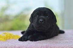 拉布拉多猎犬,小狗, Д абраÐ'Ð ¾ Ñ€,生日快乐,逗人喜爱,狗,宠物,朋友 免版税图库摄影