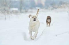 拉布拉多猎犬,朋友,逗人喜爱,喜悦,保真度,冬天,雪 免版税图库摄影