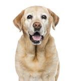 拉布拉多猎犬, 11岁特写镜头  库存照片