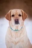 拉布拉多猎犬黄色 免版税库存照片