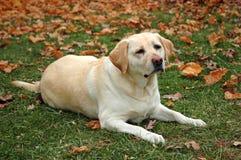 拉布拉多猎犬黄色 库存照片
