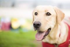 拉布拉多猎犬 免版税图库摄影