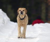 拉布拉多猎犬 图库摄影