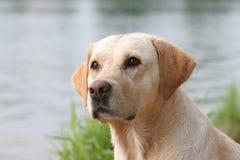 拉布拉多猎犬 免版税库存照片