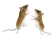 拉布拉多白足鼠- Peromyscus老鼠 免版税库存照片