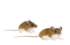 拉布拉多白足鼠- Peromyscus老鼠 库存图片