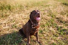 拉布拉多褐色颜色,伸出他的舌头,坐草和查寻 免版税库存图片