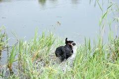 拉布拉多跃迁在水中 库存照片